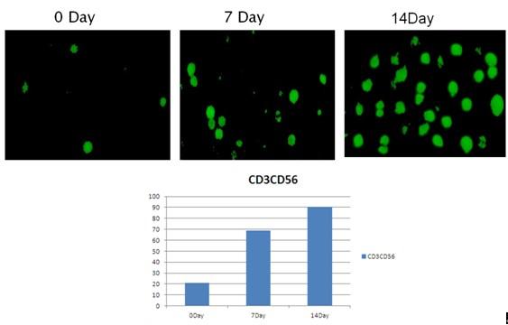 细胞间接免疫荧光步骤